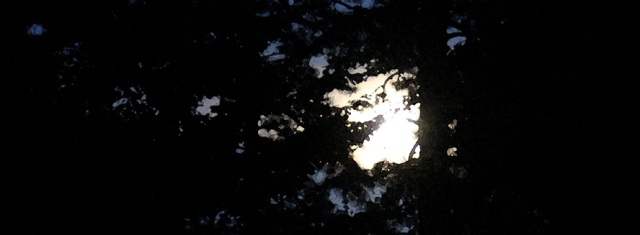 Late Summer Moon through Pine and Tulip Tree
